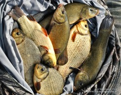1. The lure for medium size crucian and tench may be caught by very big tench, crucian or carp. In such situations a good hook will show all good sides.